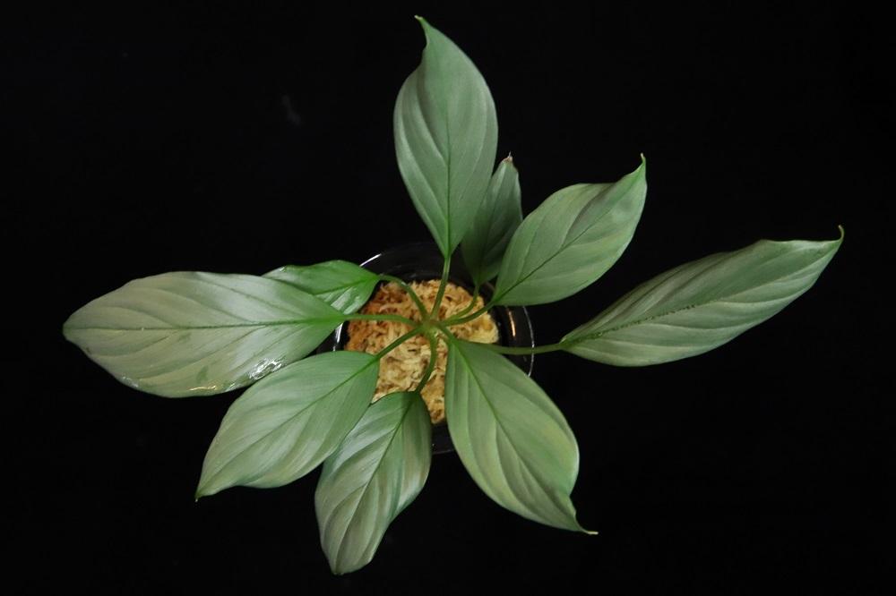 ホマロメナsp.銀 カリマンタン[Homalomena sp. 銀 Kalimantan]