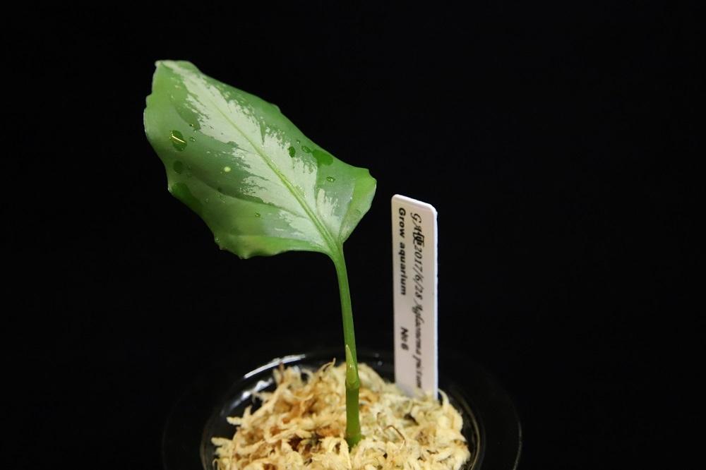 アグラオネマ ピクタム ナンバーシックス[Aglaonema pictum No.6 2017.6]