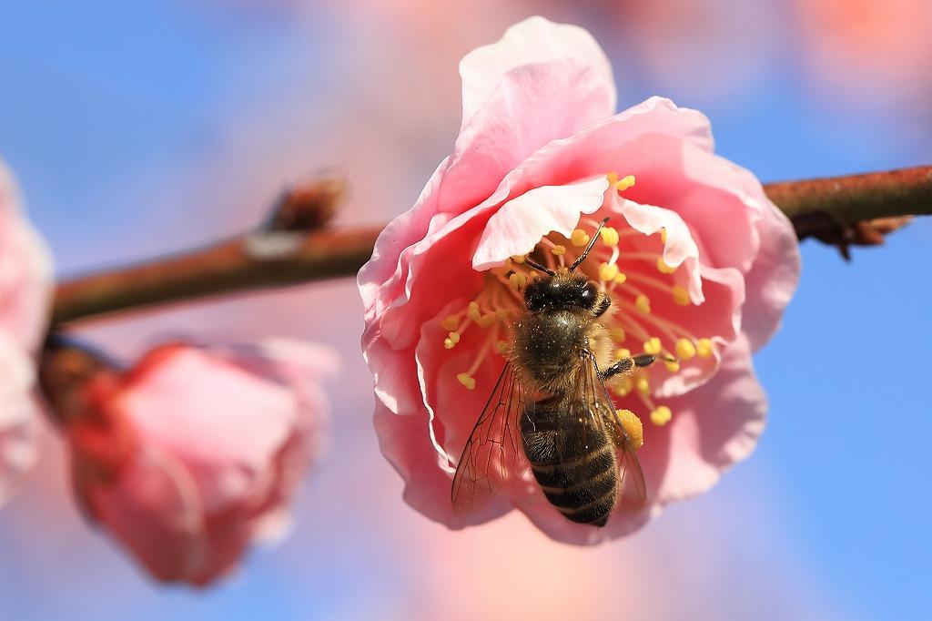 梅とミツバチIMG_1881