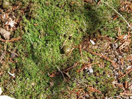 ノウサギの糞 VC190308