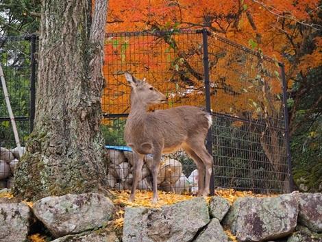紅葉と鹿さん