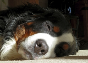 bernese-mountain-dog-205417_960_720.jpg