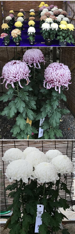 20181109菊花展3