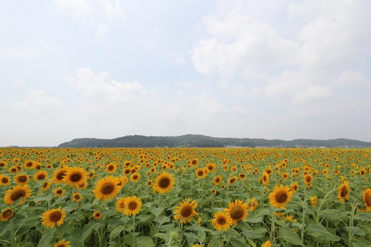ひまわり畑-SSSS