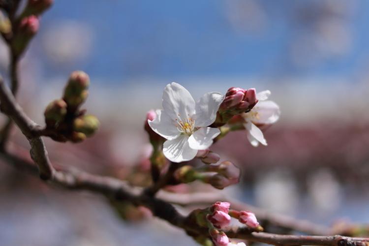 五色桜-SSSS