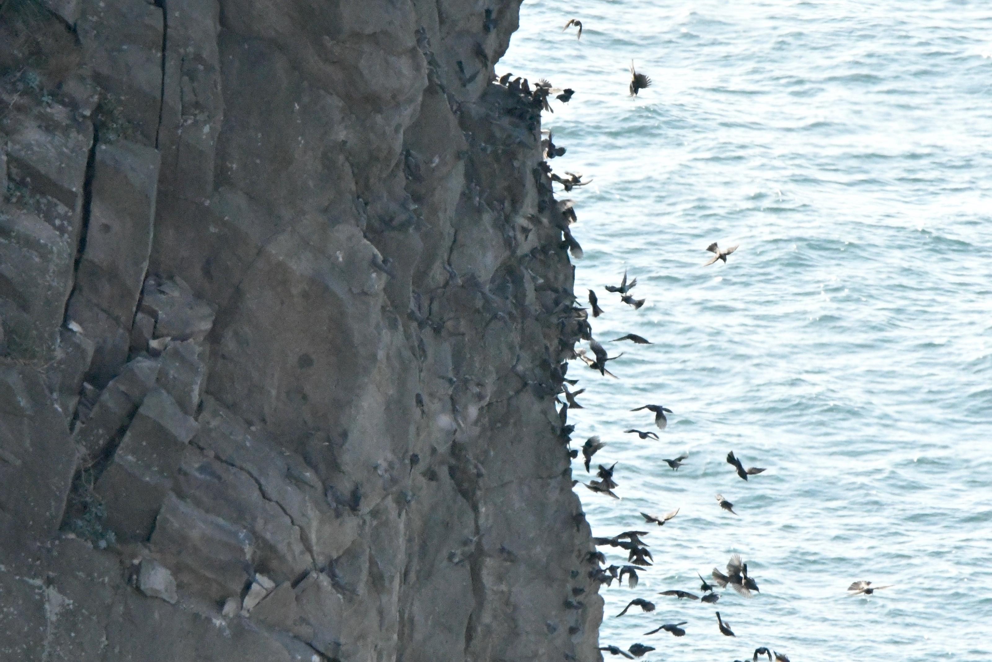 岩に集まるヒヨドリたち