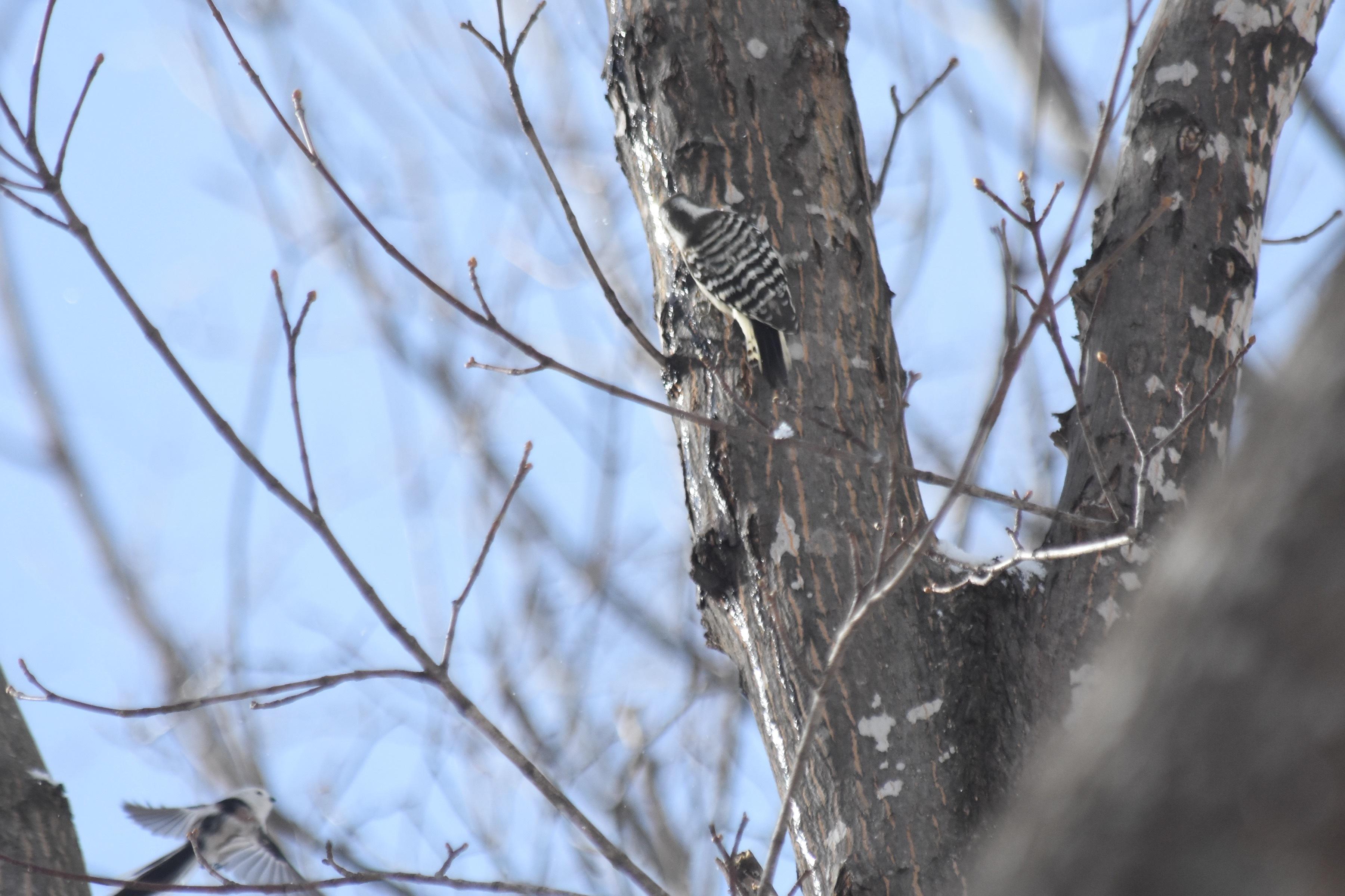 樹液のみ場所を分捕ったコゲラ