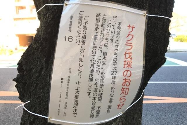 さくら伐採 (1)