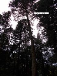 黒石住吉神社改築工事 モミの木伐採1