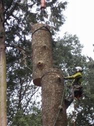 黒石住吉神社改築工事 モミの木伐採3