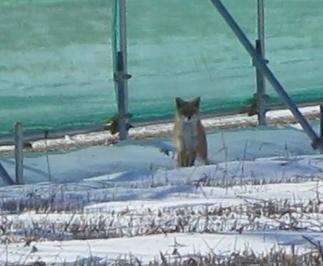 狐キツネきつね