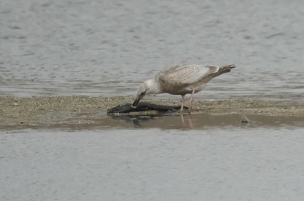 セグロカモメ死んだ魚食らう18大和川