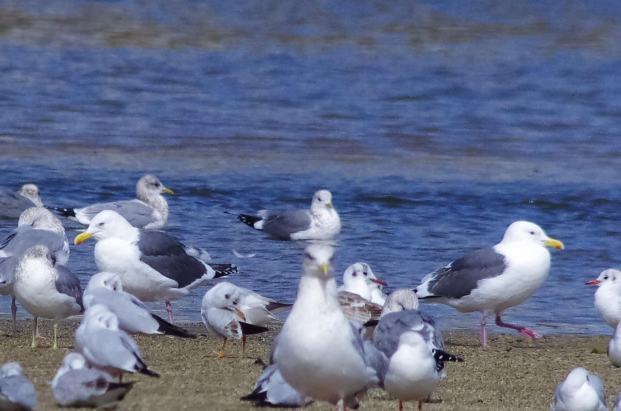 190223オオセグロカモメ成鳥夏羽3