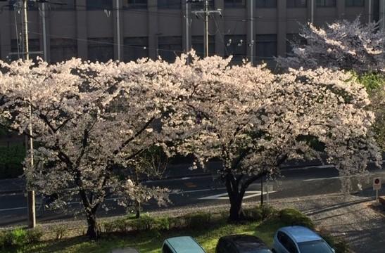 桜1 (1)