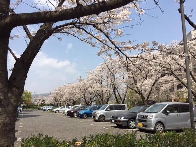 桜1 (2)