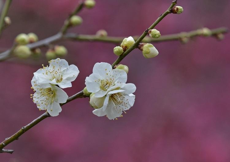 梅の花=やまだいけ