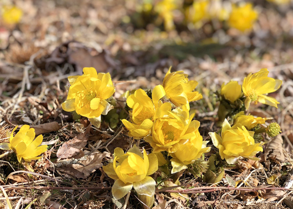 春の訪れを感じる「福寿草まつり2019」を今週末開催いたします! [平成31年2月27日(水)更新]5