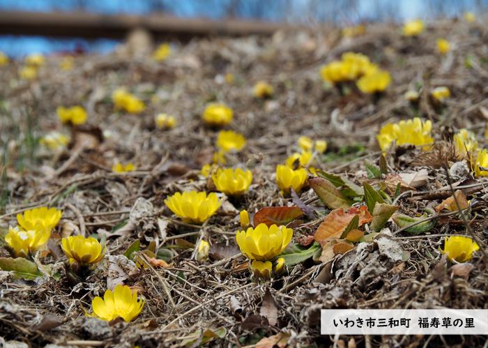早春の里山を彩るフクジュソウが開花しました! [平成31年1月16日(水)更新]1