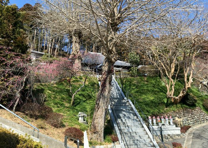 梅香る季節となりました!喜楽苑・梅林寺で梅が開花しています [平成31年2月23日(土)更新]11