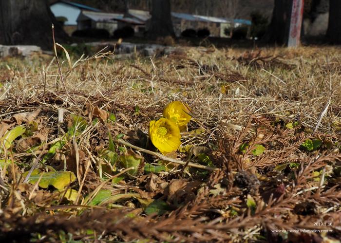 早春の里山を彩るフクジュソウが開花しました! [平成31年1月16日(水)更新]9