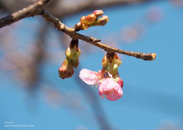 《いわき市桜情報2019》常磐共同火力(株)勿来発電所の河津桜が咲き始めました! [平成31年2月22日(金)更新]10
