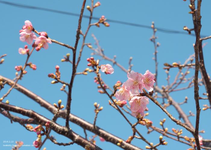 《いわき市桜情報2019》常磐共同火力(株)勿来発電所の河津桜が咲き始めました! [平成31年2月22日(金)更新]11