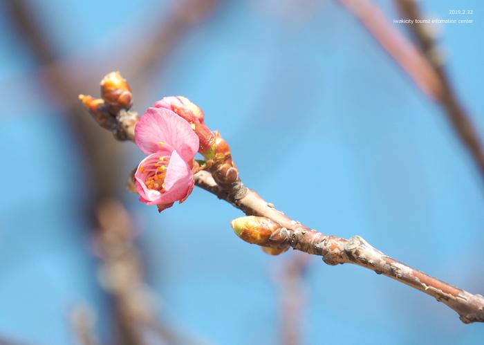 《いわき市桜情報2019》常磐共同火力(株)勿来発電所の河津桜が咲き始めました! [平成31年2月22日(金)更新]13