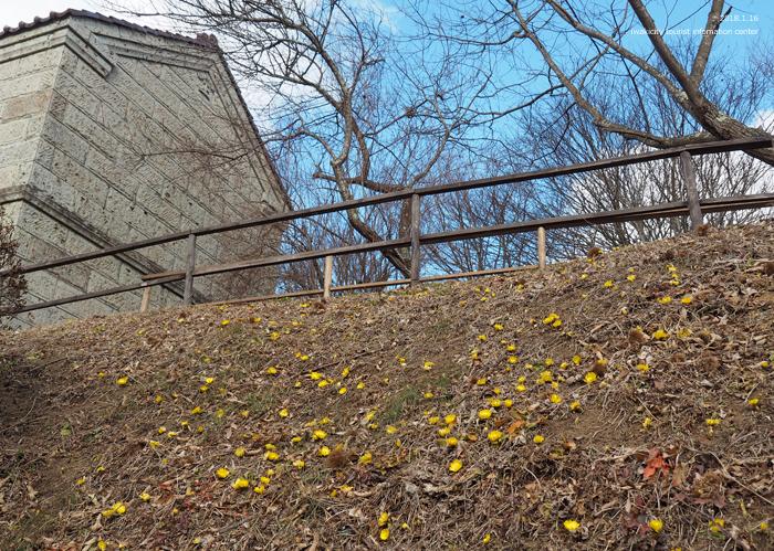早春の里山を彩るフクジュソウが開花しました! [平成31年1月16日(水)更新]2