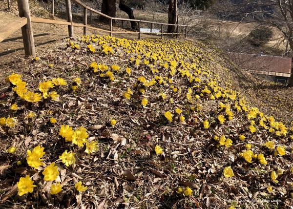 春の訪れを感じる「福寿草まつり2019」を今週末開催いたします! [平成31年2月27日(水)更新]6