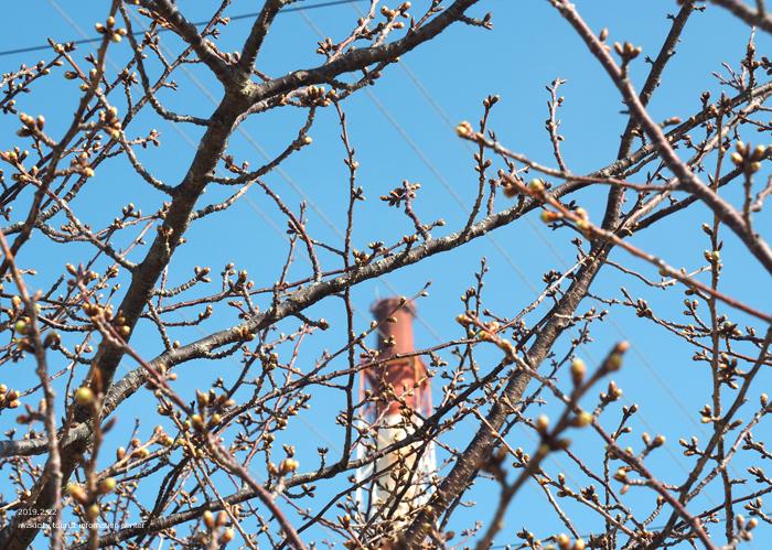 《いわき市桜情報2019》常磐共同火力(株)勿来発電所の河津桜が咲き始めました! [平成31年2月22日(金)更新]2