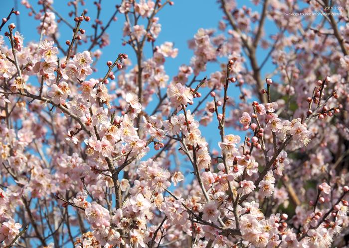 梅香る季節となりました!喜楽苑・梅林寺で梅が開花しています [平成31年2月23日(土)更新]2