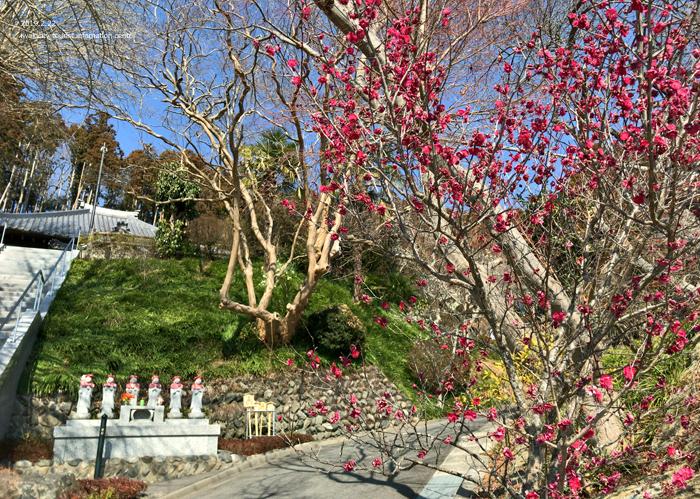 梅香る季節となりました!喜楽苑・梅林寺で梅が開花しています [平成31年2月23日(土)更新]12