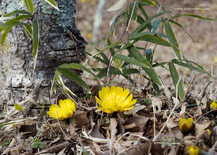 早春の里山を彩るフクジュソウが開花しました! [平成31年1月16日(水)更新]3