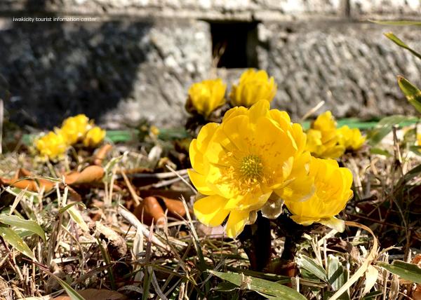 春の訪れを感じる「福寿草まつり2019」を今週末開催いたします! [平成31年2月27日(水)更新]7
