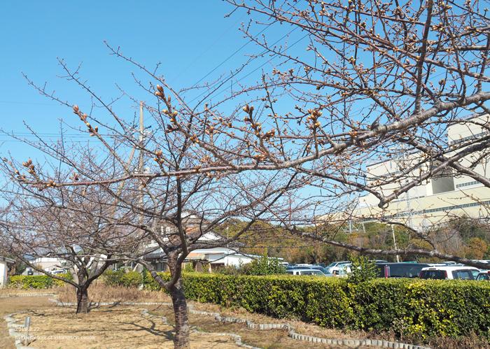 《いわき市桜情報2019》常磐共同火力(株)勿来発電所の河津桜が咲き始めました! [平成31年2月22日(金)更新]3