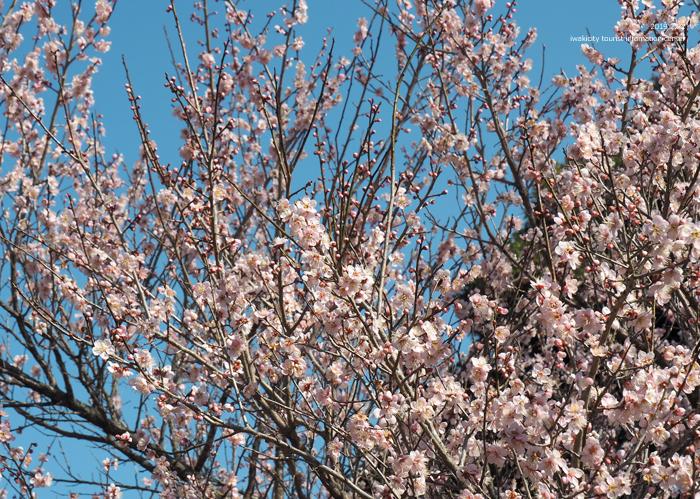 梅香る季節となりました!喜楽苑・梅林寺で梅が開花しています [平成31年2月23日(土)更新]3