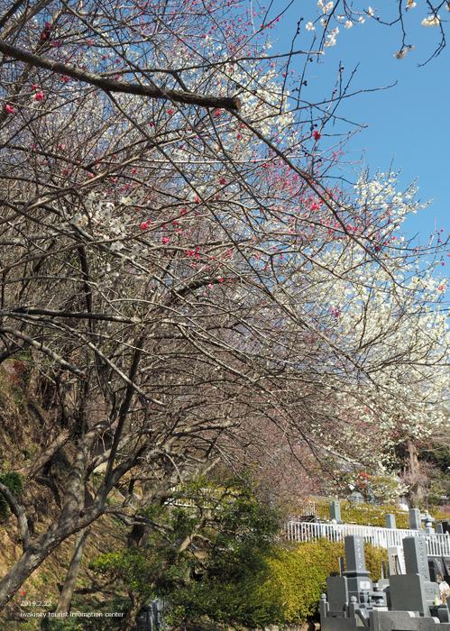 梅香る季節となりました!喜楽苑・梅林寺で梅が開花しています [平成31年2月23日(土)更新]13