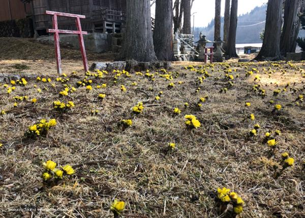 春の訪れを感じる「福寿草まつり2019」を今週末開催いたします! [平成31年2月27日(水)更新]8