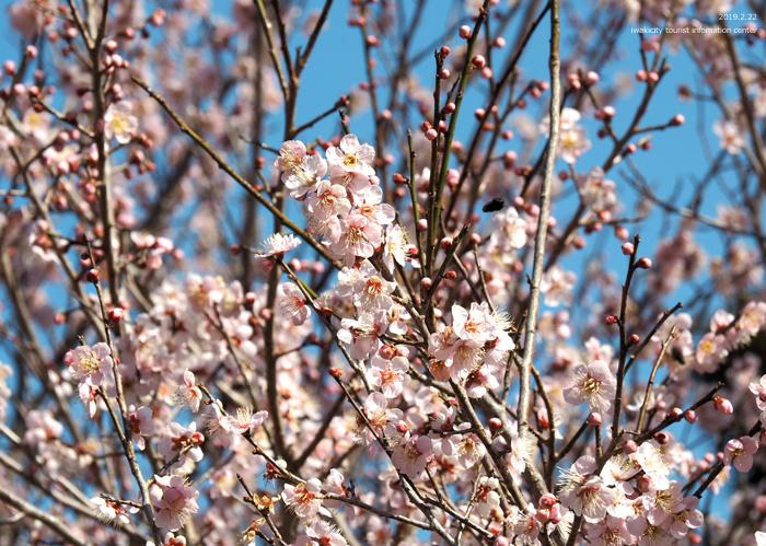 梅香る季節となりました!喜楽苑・梅林寺で梅が開花しています [平成31年2月23日(土)更新]4