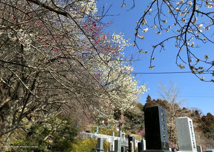 梅香る季節となりました!喜楽苑・梅林寺で梅が開花しています [平成31年2月23日(土)更新]14
