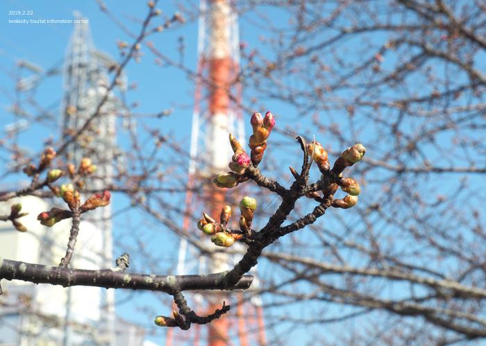 《いわき市桜情報2019》常磐共同火力(株)勿来発電所の河津桜が咲き始めました! [平成31年2月22日(金)更新]5