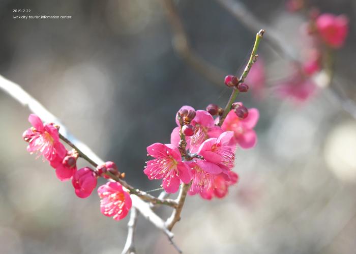 梅香る季節となりました!喜楽苑・梅林寺で梅が開花しています [平成31年2月23日(土)更新]15