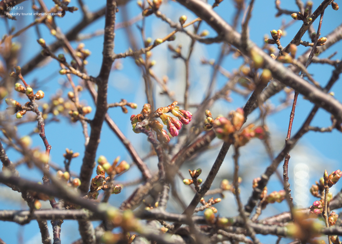 《いわき市桜情報2019》常磐共同火力(株)勿来発電所の河津桜が咲き始めました! [平成31年2月22日(金)更新]6
