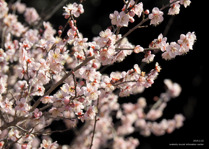 梅香る季節となりました!喜楽苑・梅林寺で梅が開花しています [平成31年2月23日(土)更新]6