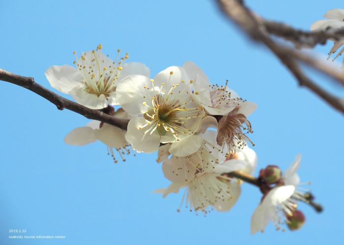 梅香る季節となりました!喜楽苑・梅林寺で梅が開花しています [平成31年2月23日(土)更新]16