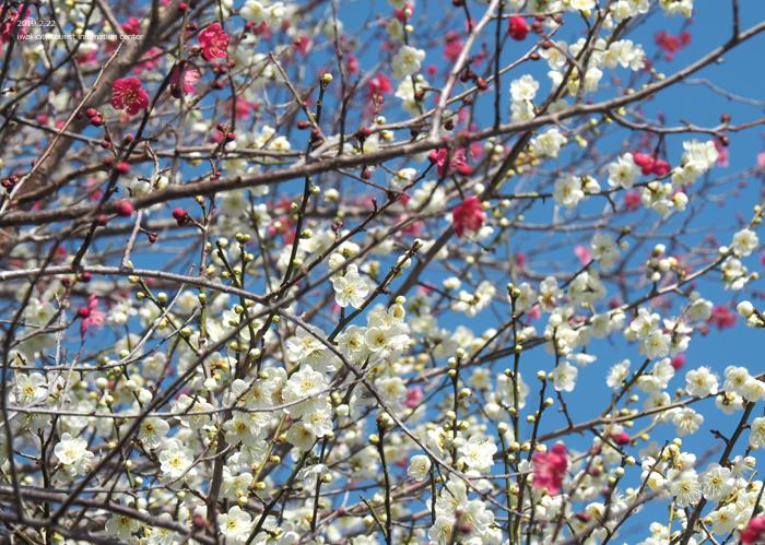 梅香る季節となりました!喜楽苑・梅林寺で梅が開花しています [平成31年2月23日(土)更新]17