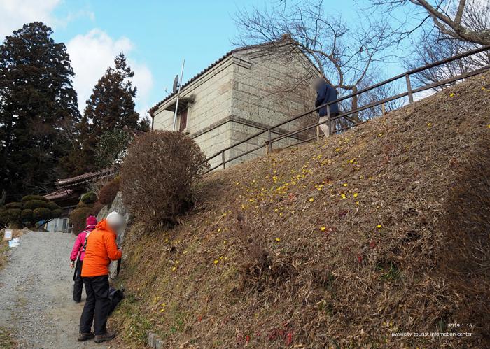早春の里山を彩るフクジュソウが開花しました! [平成31年1月16日(水)更新]7
