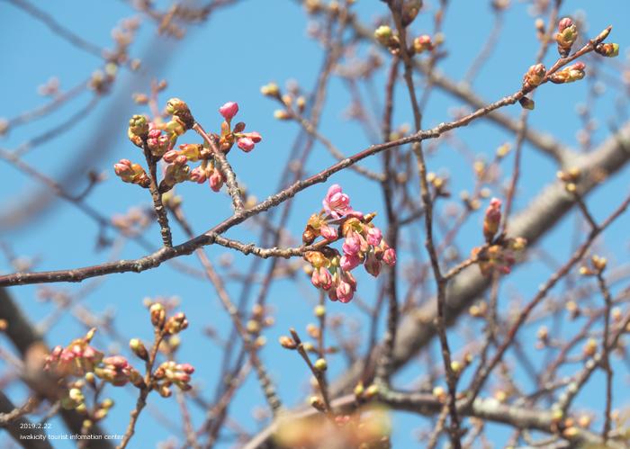 《いわき市桜情報2019》常磐共同火力(株)勿来発電所の河津桜が咲き始めました! [平成31年2月22日(金)更新]8