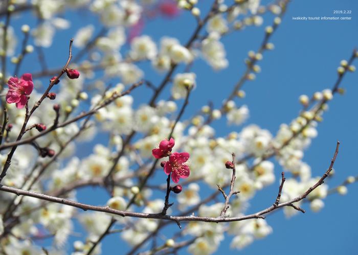 梅香る季節となりました!喜楽苑・梅林寺で梅が開花しています [平成31年2月23日(土)更新]18
