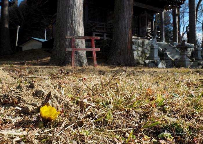早春の里山を彩るフクジュソウが開花しました! [平成31年1月16日(水)更新]8